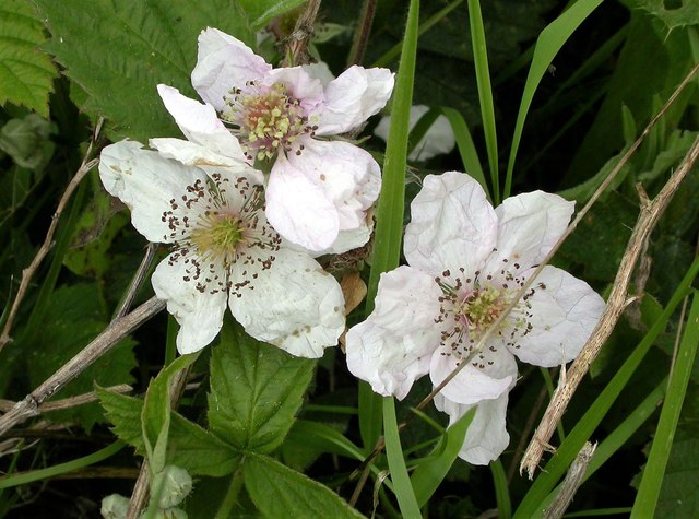 A woodland bramble in flower in Brede High Woods