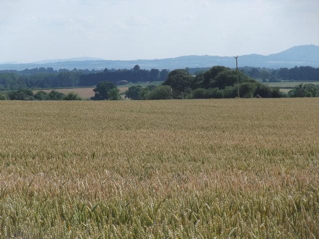 View across the wheatfield to the Wrekin