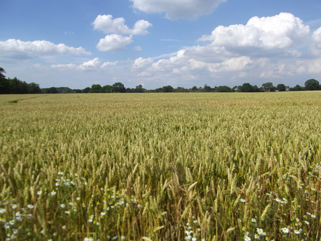 Wheatfield south of Soudley