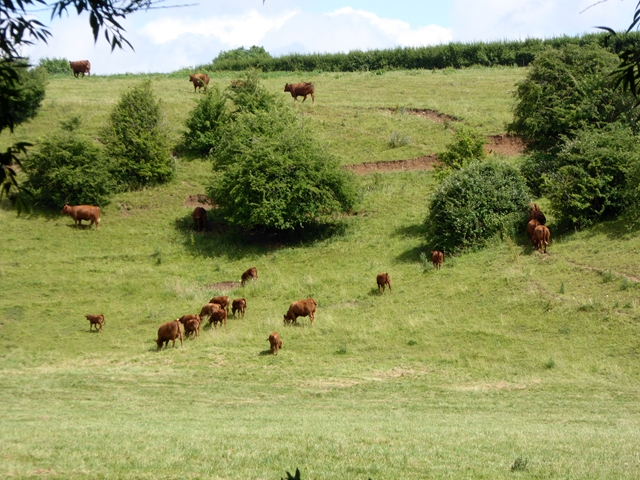 Cattle on the bank above the River Coln