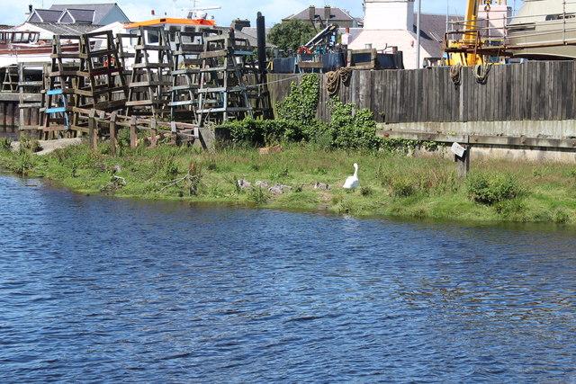 Swan and Cygnets, Girvan