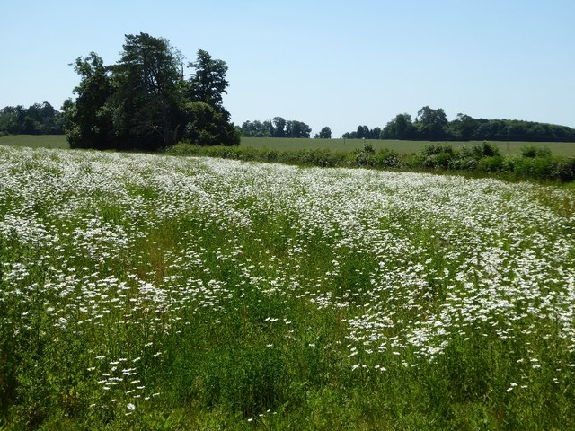 Moon daisies in a field