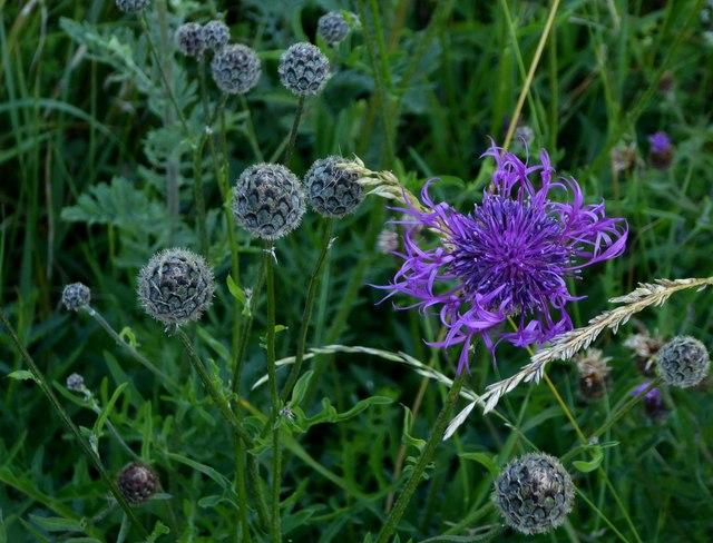Wildflowers of chalk downland: Knapweed