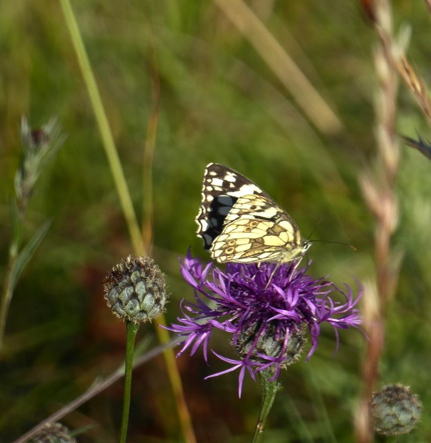 Marbled White butterfly on knapweed, Denbies hillside