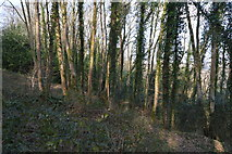 SX5157 : Leigham Wood by N Chadwick