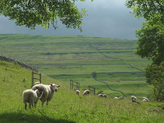 Sheep above Crook Gill