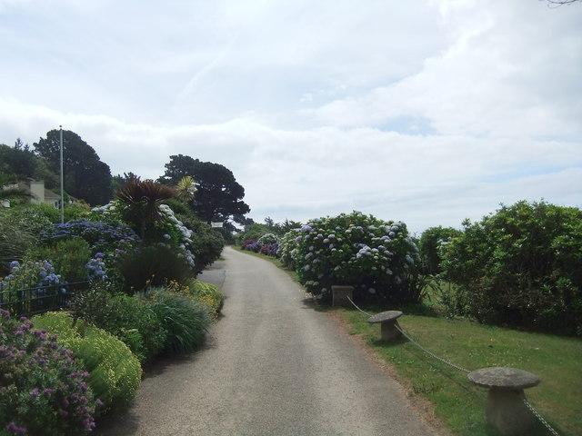 Hydrangeas near St Mawes Castle