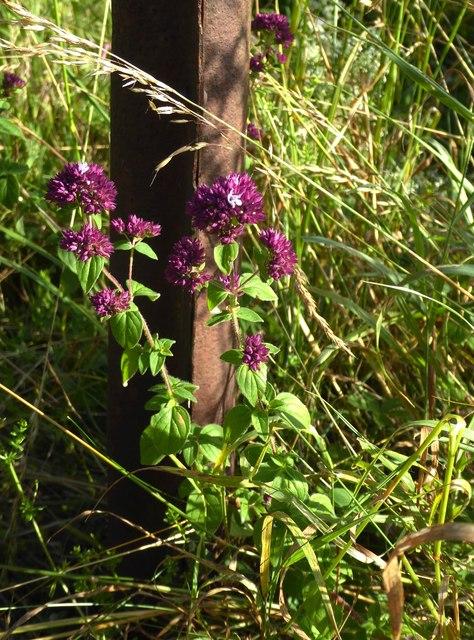Wildflowers of chalk downland: Marjoram (Origanum vulgare)