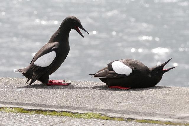 Black guillemots, Oban harbour
