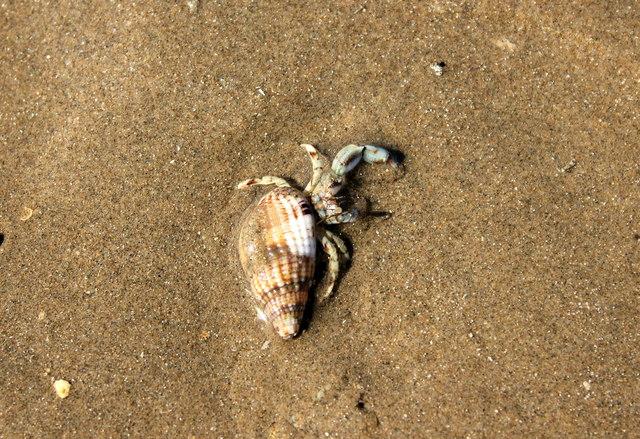 Small Hermit Crab on Traeth Mawr