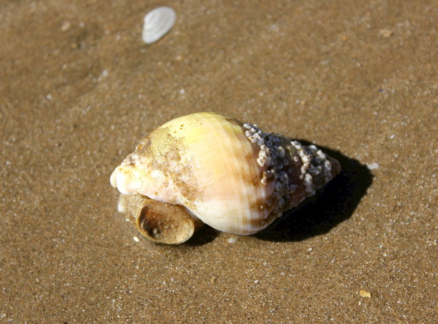 Common Whelk on Traeth Mawr