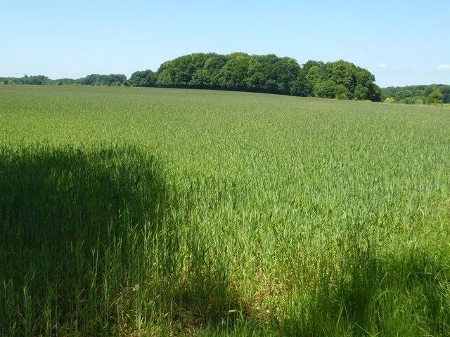 Wheat field near Eastleach Turville