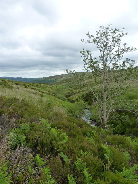 Rowan in the valley of the Hirddu Fach