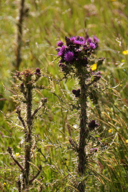 Marsh Thistle (Cirsium palustre), Setter, Weisdale