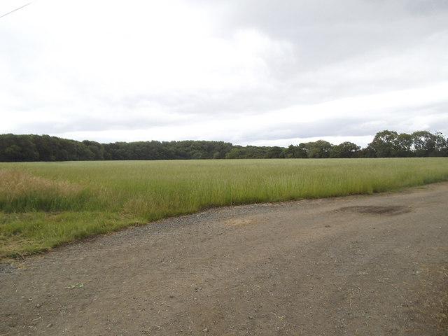 Wheat field south of Aldwark Wood
