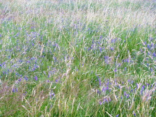 Blue flowers in the long grass