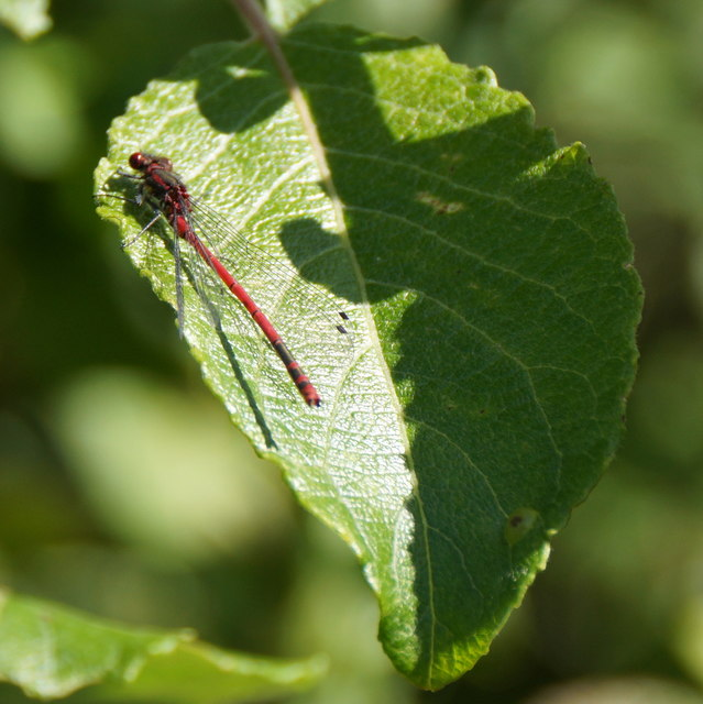 Large Red Damselfly (Pyrrhosoma nymphula), Sandgarth, Voe