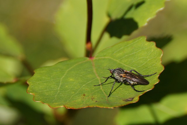 The daggerfly Empis tessellata, Loch of Voe