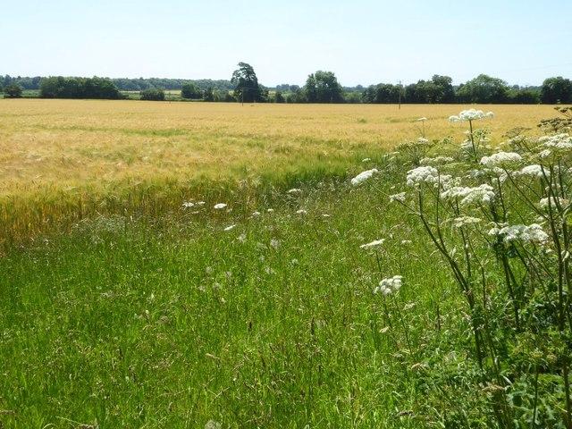 Barley field near Hatherop