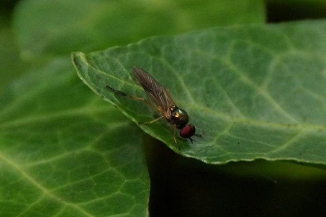 The soldierfly Beris morrisii, Craigleith, Edinburgh