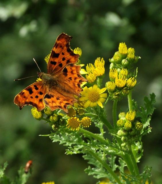 Comma butterfly on ragwort
