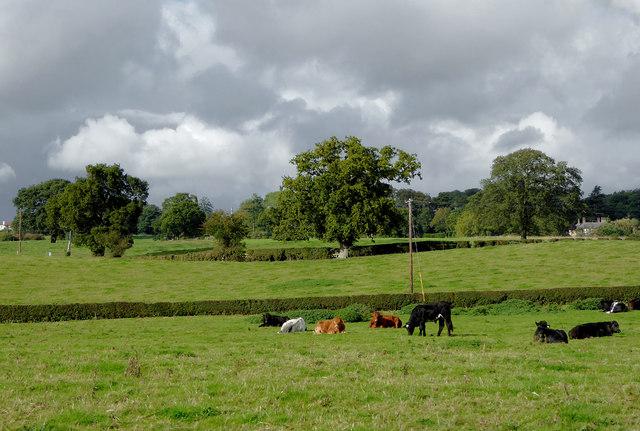 Cattle grazing near Lower Frankton in Shropshire
