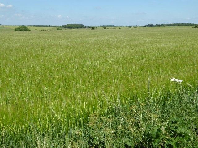 A large barley field