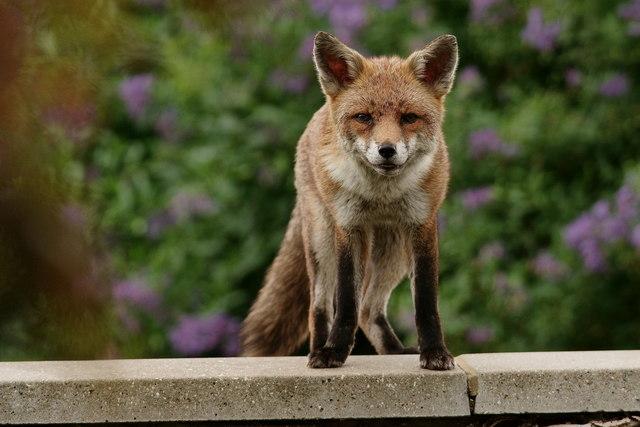 Mrs.Fox