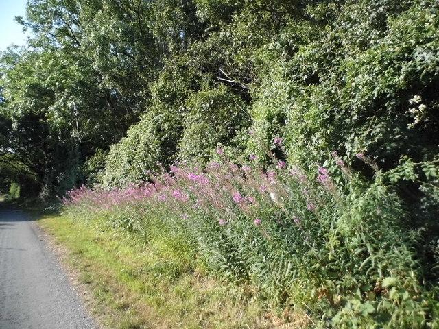 Rosebay Willowherb on Holtsmere End Lane