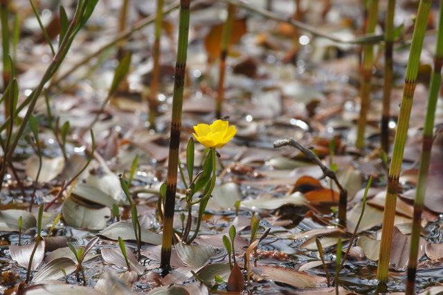 Lesser Spearwort (Ranunculus flammula), Baltasound