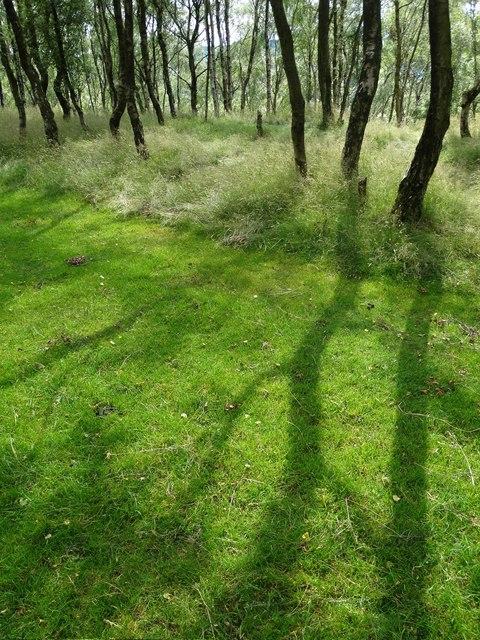 Silver birch shadows on the grassy track to Bole Hill Quarry