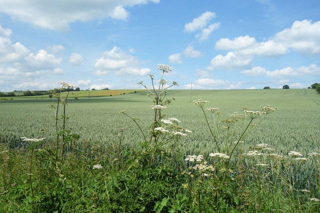 Wheat Field, Maidencourt Farm
