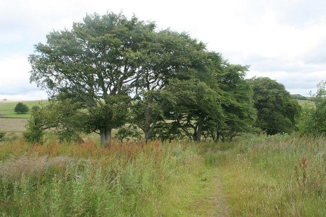 Beech trees beside the path