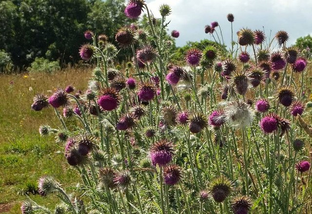 Thistles on Walls Hill