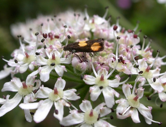 Orange-spot piercer moth on hogweed flowers