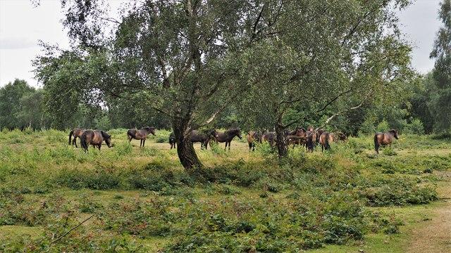 Exmoor Ponies in Sutton Park