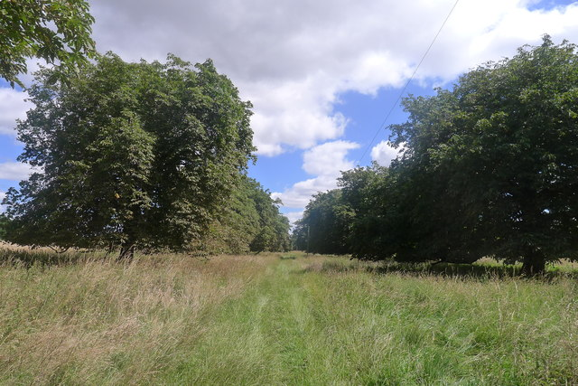Avenue of horse chestnut trees on Bytham Riding