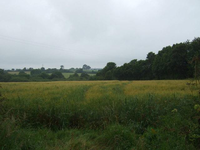 Cereal crop beside woodland, Rosevidney