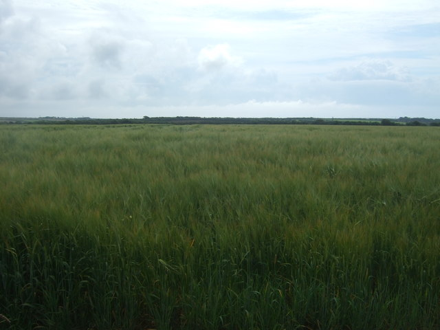 Cereal crop, St Buryan