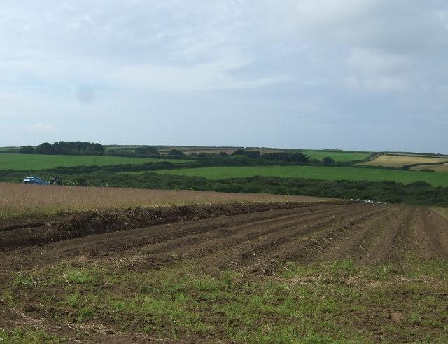 Harvesting new potato crop