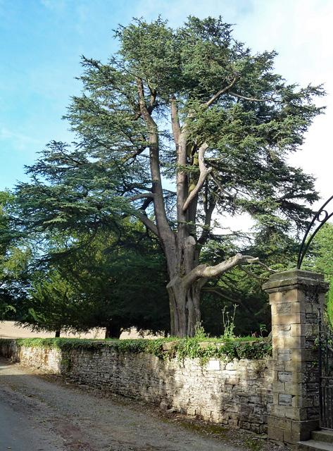Cedar near Shobdon