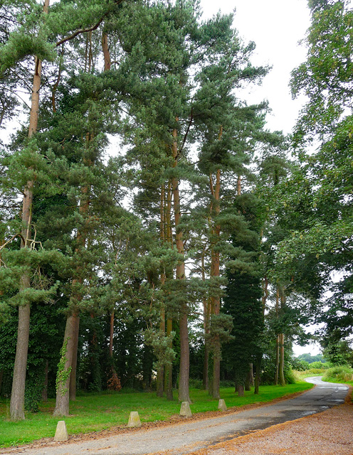 Scots pines near Holme Lacy