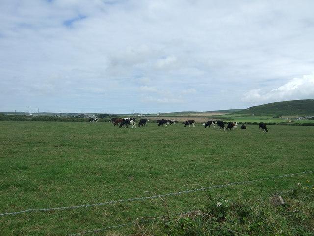 Cattle grazing, Trevedra Common