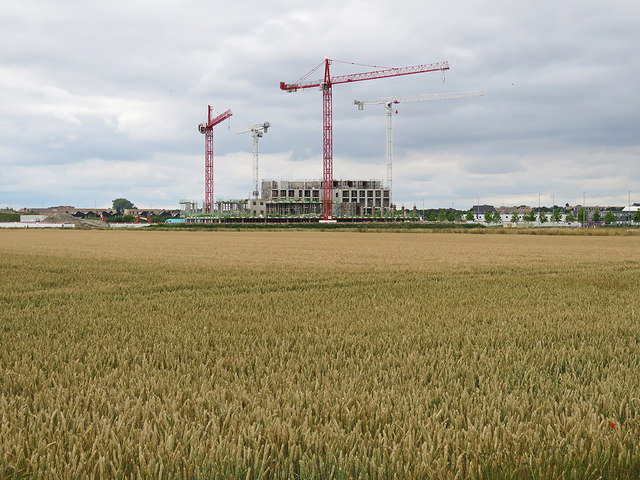 Cranes and a wheatfield
