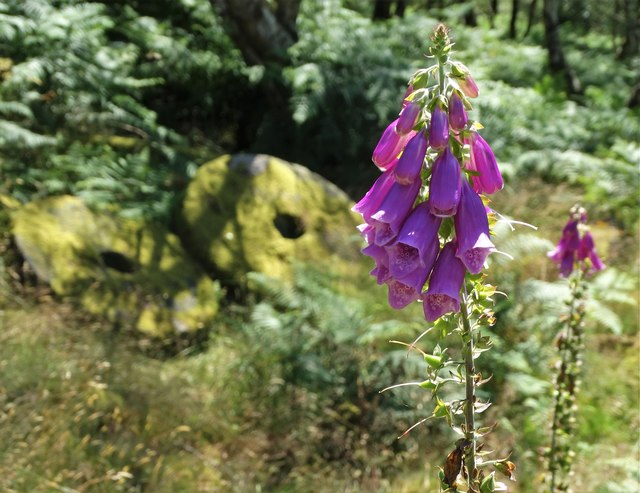 Ageing foxglove plant and old millstones