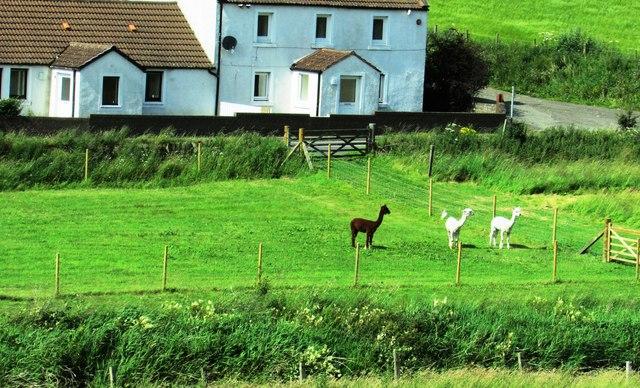 Alpacas in Fife!