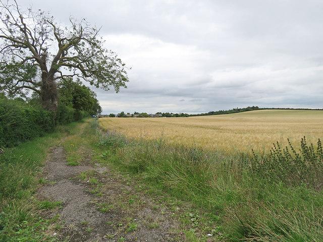 Barley on Limekiln Hill