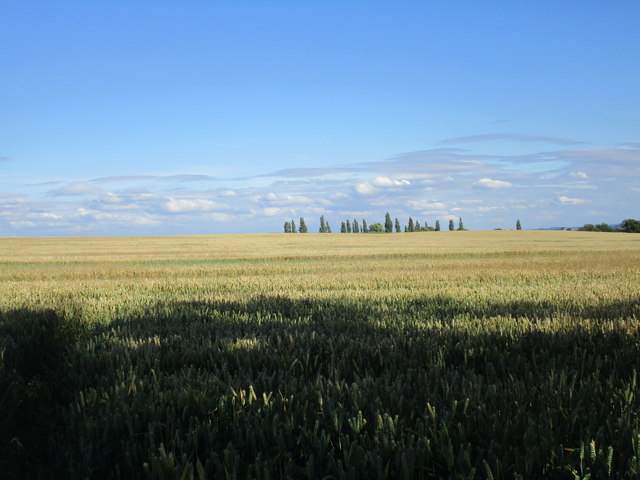 Wheatfield and distant poplars