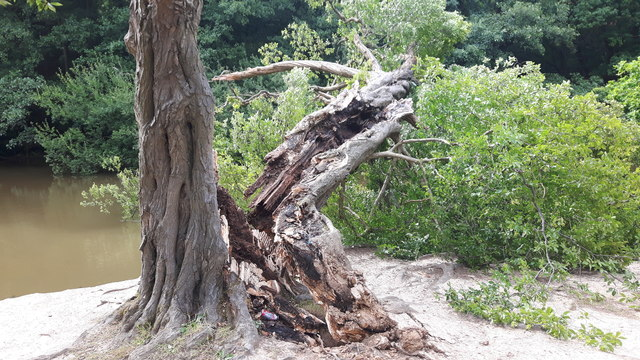 Damaged Tree, Trent Park, Enfield