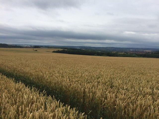 Crop Field near Nicker Wood